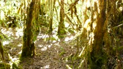 Slow tilt shot of densily covered trees in moss lit from sunlight