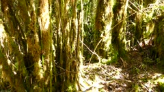 One minute extended sequence of lush mossy trees on slow panning