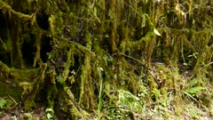 Slow pan shot of lush trail side with roots covered in moss and light rain