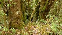 Beautiful trees covered in dense moss and foliage in Costa Rica