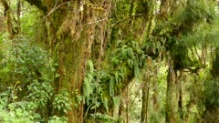 Epiphytes and lush overgrowths overtaking large tropical mossy tree