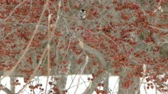 Cute bird standing in red dried up fruit tree in winter with snow on the ground