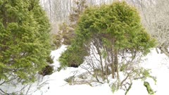 Double shot of bush in the snow with bird flying around it in the winter