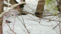 Dark-eyed junco bird of Canada stepping on the snowy ground in winter