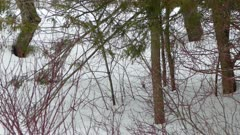 Extended one minute shot of bird hopping on snowy ground between shrubs