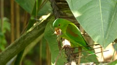 Orange-chinned parakeet takes off from palmtree after finishing lunch