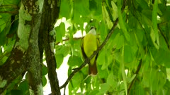 Great kiskadee tropical bird making loud clear sound during vocalisation