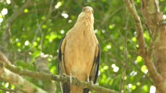Close view of caracara bird of prey standing on branch before taking off