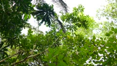 Wide view of jungle with cacique bird flying around with tree variety