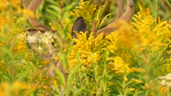 Crisp details in 4K of deer's face while it is feeding from yellow flowers