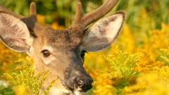 Profile view of deer's face in sharp details while standing out in the wild