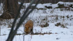 Canadian winter scenery with fox sniffing the ground with its muzzle