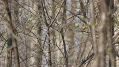 One minute tracking shot of palm warbler bird hopping in spring time tree