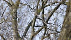 Blackburnian warbler in tree top during early spring on clear day in America