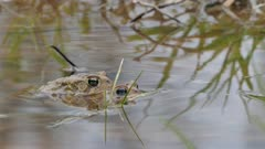Mating frogs during lengthy process dive in water to relocate