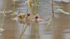 Frog on top of another during sex move forward while half submerged in water