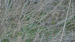 Palm warbler at dusk at low level seen thru dense grass in spring
