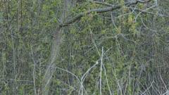 Long tracking shot of palm warbler in spring hopping around hatching buds