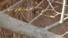 Ovenbird with cool feather design viewed hiding behind broken tree trunk