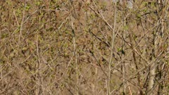 Pretty small vireo bird hopping up on branch in spring with fresh green buds