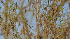 Vireo bird in pretty soft sunlight during spring migration in North America