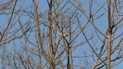 Tracking shot of tiny vireo bird moving fast in tree branches in spring