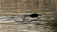 Silhouette of beaver swimming atop river with head peaking during sunset