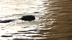 North American beaver in water moves head quickly creating splash