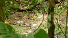 Bird sqatting on tropical dry river bed in search of food with rocky floor