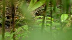 Northern waterthrush bird walking along stream seen thru blurry leaves