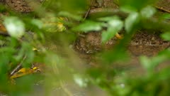 Shore bird northern waterthrush walking on branch along water