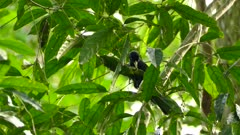 Cacique exotic bird pry open curved leaf to feed from insects hiding in it