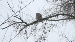 Owl perched high up on open branch with dried fruits in Canadian winter