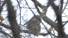 Underneath back view of Barred Owl standing in light early snowfall