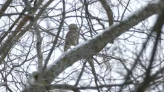 Owl flying away from trees covered lightly with snow in North American forest