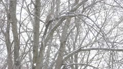 Barred Owl viewed in the distance from its side in cold Canadian weather
