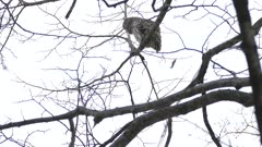 Two very smooth tilting shots showing perched Barred Owl in winter