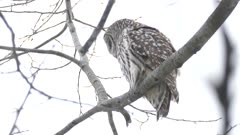 One minute shot of Barred Owl standing in winter wind lifting up its feathers
