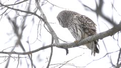 Barred Owl closely looking at possible prey while perched high up a tree