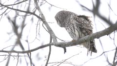 Tight and medium shot of Barred Owl moving head around in winter