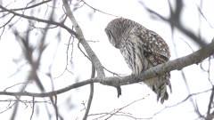 Close view of Barred Owl perched under light snowfall during hunt stalking