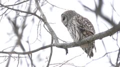 Beautiful owl turning head towards camera before orienting it away