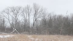 Wide panning view of field in early winter with large bird of prey perched in tree