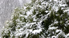 Cedar tree bush with blurry forest in background on a snowy day