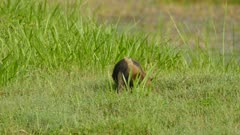 Northern tamandua foraging through grass while advancing and scratching