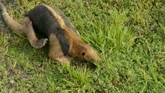Closeup view of northern tamandua feeding in grass while scratching back