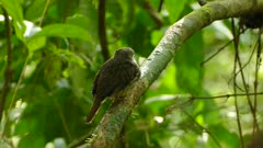 Puffbird in focus while cacique bird climbs up in background in rainforest