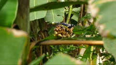 Beautiful black chested jay feeding on tropical plant before flying away