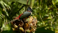 Close view of collared aracari toucan with striking colors while feeding