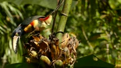 Beautiful collared aracari under sun light in the wild in South America